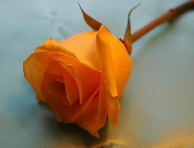 mawar oranye